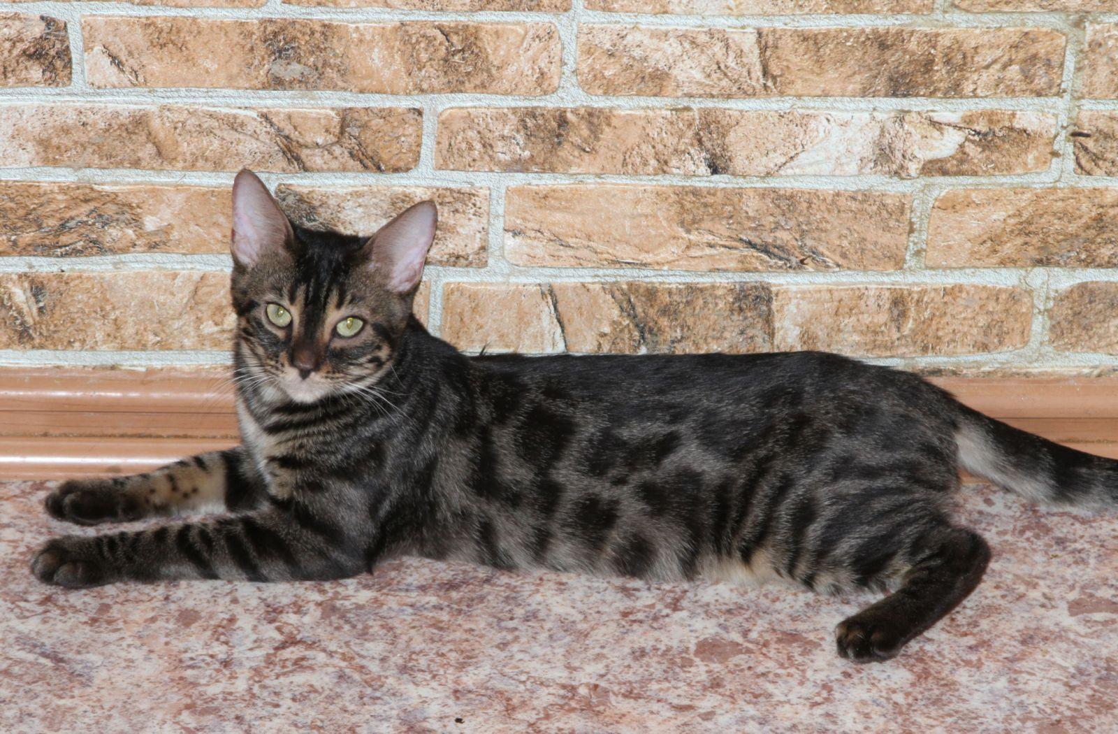 Угольный бенгальские коты
