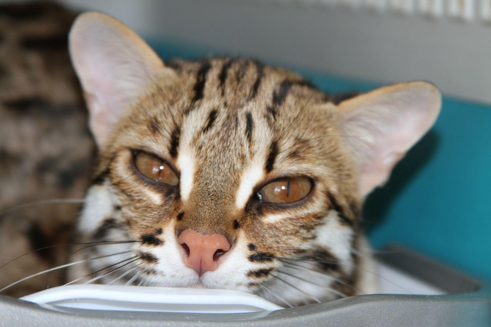 Бенгальский кот купить калуга
